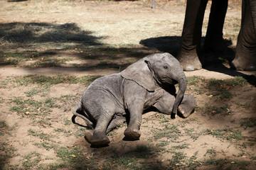 Baby elaphant laying on the ground