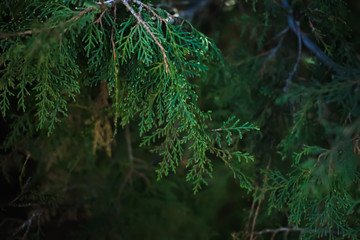 Thuja branch in dark light. Background with space for your text