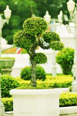 Bonsai tree in the park.