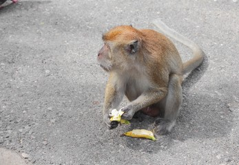 monkey eat banana nature in Thailand Closeup