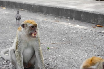 monkey nature angry in Thailand Closeup