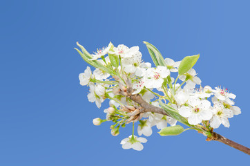 White spring blooming apple flowers on the clear sky