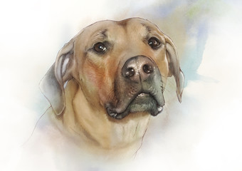 Illustration of the Rhodesian Ridgeback. African lion dog, hound. Watercolor Animal collection: Dogs. Watercolor Dog Pug Portrait - Hand Painted Illustration of Pet. Good for banner, print T-shirt.
