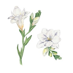 Set Freesia. Flowers. Watercolor handmade drawing.