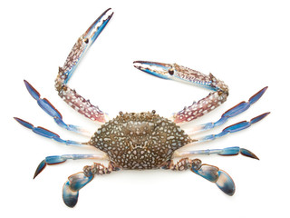 Blue crab isolated on white