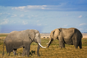 Male and female  African Bush Elephants