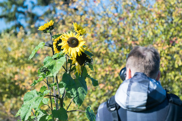The plant sunflower growing alone in a field near the road, which photographs a man with a rucksack on his back and with a camera in hand