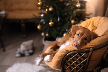 Dog Nova Scotia Duck Tolling Retriever . Christmas season 2017, new year
