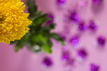 yellow chrysanthemums on a pink background with purple ribbons for decoration
