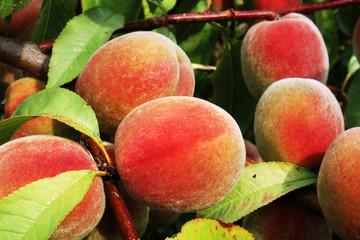 Obraz owoce brzoskwini - fototapety do salonu