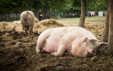 Pigs are resting in a sanctuary for freed animals