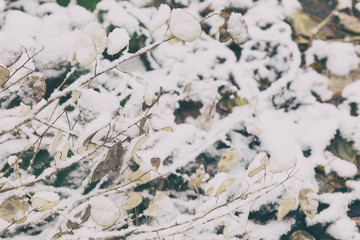 Beautiful winter background with dry herbs and lunaria annua, silver dollar plant in the snow, small depth of field.