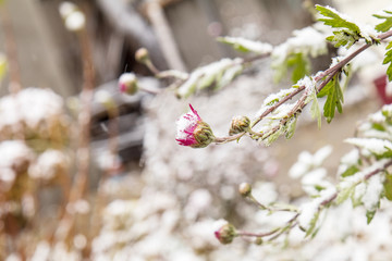 Beautiful winter background with dry herbs and chrysanthemum flower in the snow, small depth of field.