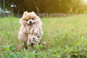 Dog pomeranian spitz smiling furry coat sitting in a park.