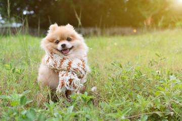 Dog pomeranian spitz smiling furry coat sitting in a park.