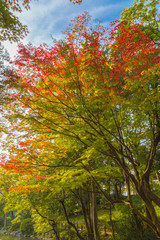 The maple and autumn leaves.The shooting location is Arisugawa Park in Minami Azabu, Minato-ku, Tokyo, Japan.