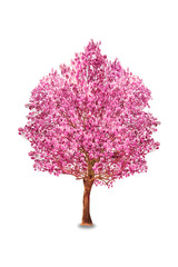 Pink trumpet tree or Rosy trumpet tree, Pink tecoma tree on white background.