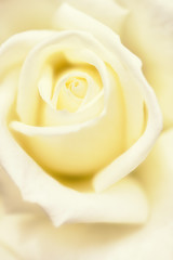 White rose background, close up