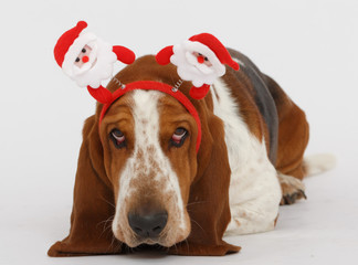 Happy New Year, Christmas Basset , isolated on white