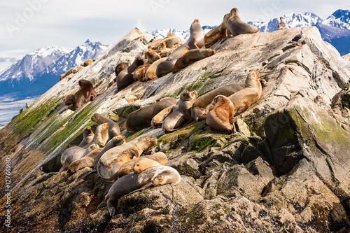 Sea lions on isla in  beagle channel near Ushuaia (Argentina)