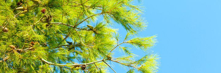 Branches of conifer and blue sky banner panoramic texture background
