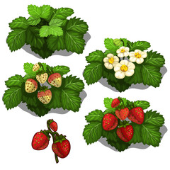 Planting and cultivation of strawberry. Vector