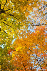The wonderful leaves of a maple tree / The wonderful leaves of a maple tree in the park are beginning to color