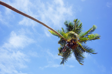 View on the palm tree of Sri Lanka.