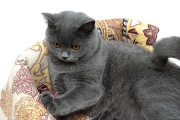 beautiful gray cat breed Scottish Straight closeup