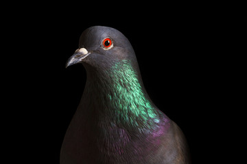 rock pigeon with colored neck on a black background Wall mural