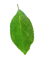 plum leaf isolated on white background with clipping path