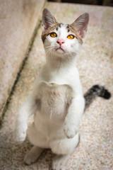 Beautiful thai cat.