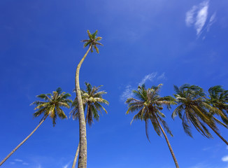 Beautiful coconut palm trees perspective view