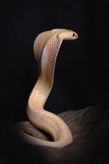 Albino cobra.