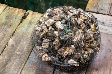 live oyster catched from the sea.