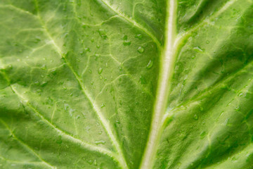 Macro closeup of fresh green chard leaf with water droplets and