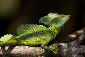 Basilisco verde, Costa Rica
