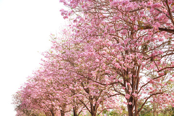 Pink trumpet flower.