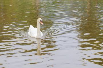 Swan swims in the lake.