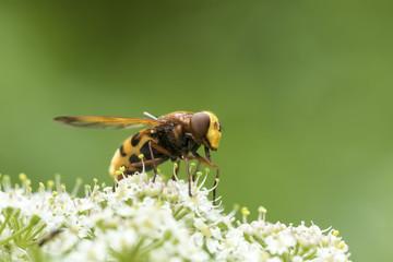 Volucella zonaria, hornet mimic hoverfly