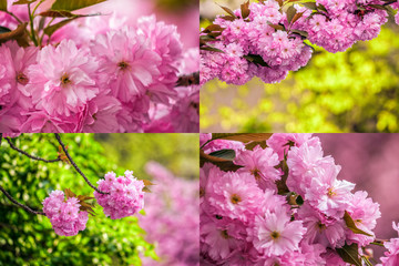 pink flowers of sakura branches on blury background image set