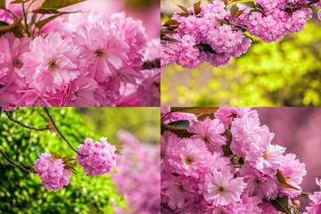 pink flowers of sakura branches on blury background image set