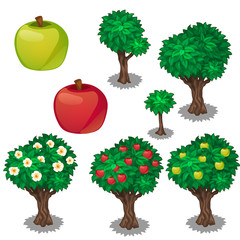 Planting and cultivation of apple