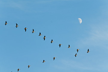 Pack of geese and half moon in the blue sky.