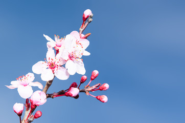 Springtime plum blossoms pink buds and flowers