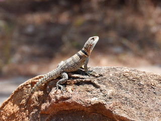 Madagascan collared iguana Oplurus cuvieri in its natural environment