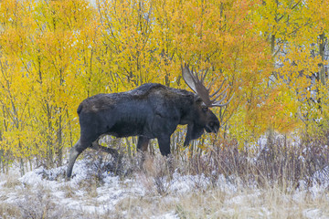 Bull in the Backstreets - A Bull Moose saunters through the back streets of Silverthorne in search of a female cow during the fall mating season. Summit County, Colorado