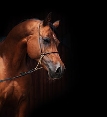 portrait of amazing  bay  arabian horse.