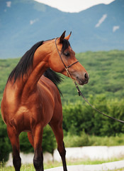 portrait of bay arabian stallion at mountain background