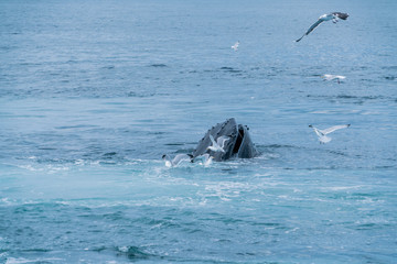 Humpback Whale Lunge Feeding off the coast of Boston near Stellwagen Marin Sanctuary